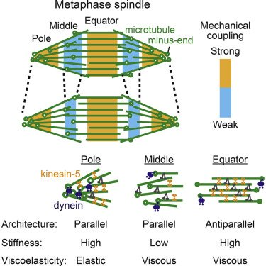 Metaphase Spindle: Architecture, Stiffness and Viscoelasticity