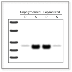 Unpolymerized and polymerized Reactions