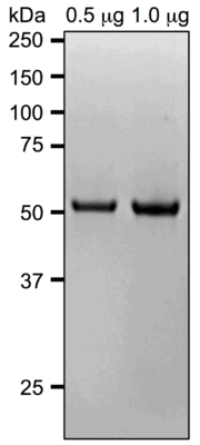 Lyophilized Tubulin Purity