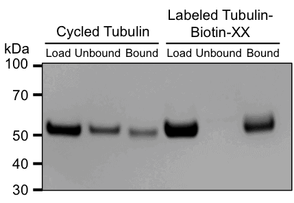 https://puresoluble.com/wp-content/uploads/2016/11/biotin-xx-tubulin-streptavidin-bead-binding.png