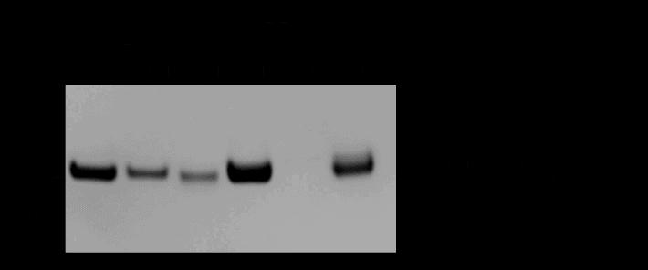 Biotin-XX Tubulin streptavidin bead binding